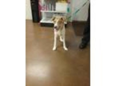 Adopt 42034843 a White Hound (Unknown Type) / Mixed dog in Cullman