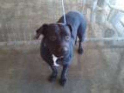 Adopt Chloe PIT a Black - with White American Pit Bull Terrier / Mixed dog in