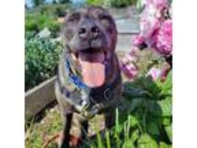 Adopt Squid a Brindle American Pit Bull Terrier / Mixed dog in Seattle