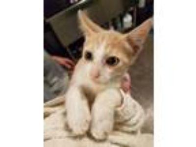 Adopt (found) Solstice a Orange or Red Domestic Mediumhair / Domestic Shorthair