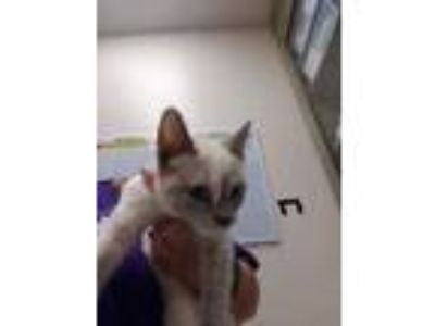 Adopt 2 a White Siamese / Domestic Shorthair / Mixed (short coat) cat in