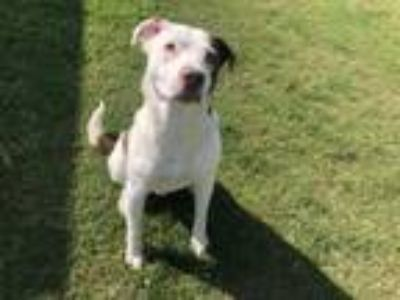 Adopt KUZCO a Pit Bull Terrier, Mixed Breed