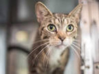 Adopt CHARLOTTE a Brown Tabby Domestic Shorthair / Mixed (short coat) cat in