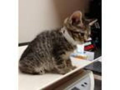 Adopt Ava a Tan or Fawn Tabby Domestic Shorthair (short coat) cat in Huntley