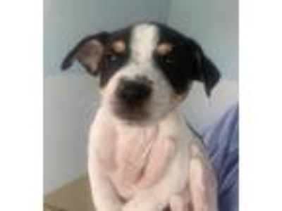 Adopt Moose a White Rat Terrier / Mixed dog in Loxahatchee, FL (25306639)