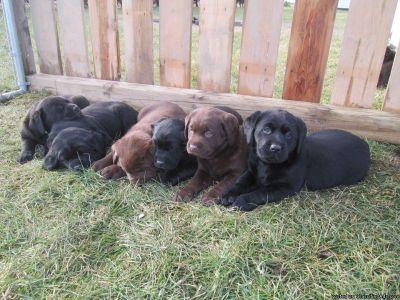 Purebred Labrador Retriever Puppies READY TO GO!!
