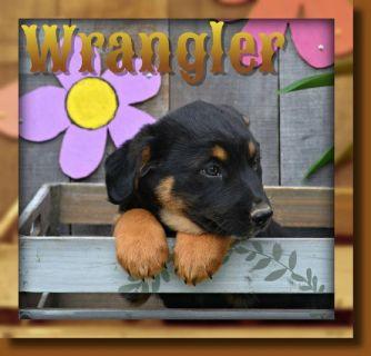 Wrangler Male Border Collie Mix