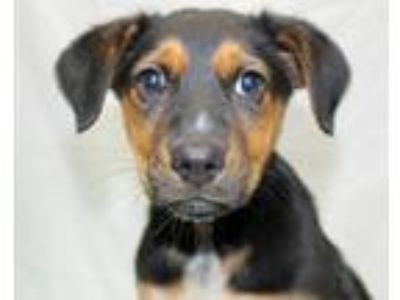 Adopt Bessie a Black - with Tan, Yellow or Fawn Shepherd (Unknown Type) / Mixed