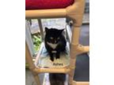 Adopt Ashes a Domestic Short Hair