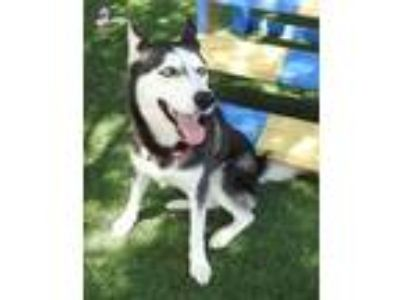 Adopt Phoenix a Gray/Blue/Silver/Salt & Pepper Husky / Mixed dog in Grapevine