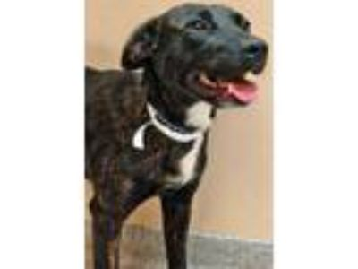 Adopt Spencer a Black - with White Labrador Retriever / Mixed dog in Downers