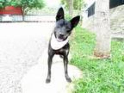 Adopt Lunie a Black - with Tan, Yellow or Fawn Kai Dog / Terrier (Unknown Type