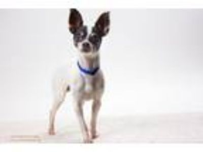 Adopt ARCHIE* a Rat Terrier, Mixed Breed