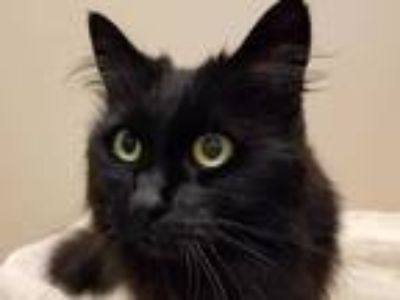 Adopt COCO a All Black Domestic Longhair / Mixed (long coat) cat in Tacoma
