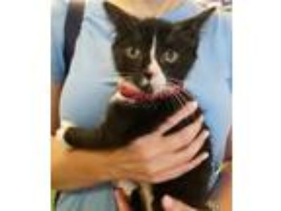 Adopt Jimmy a Black & White or Tuxedo Hemingway/Polydactyl (short coat) cat in