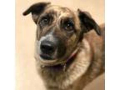 Adopt Jessi a German Shepherd Dog, Mixed Breed