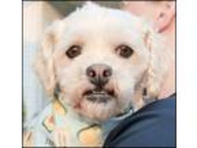 Adopt Zoie (Must be adopted with Haley) a Bichon Frise
