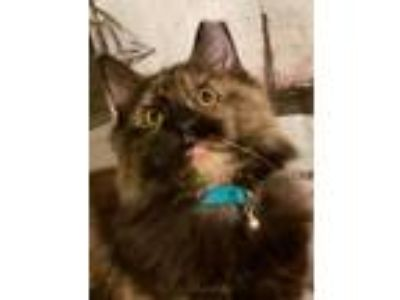 Adopt Jayna a Tortoiseshell Maine Coon (long coat) cat in Trevose, PA (23994584)
