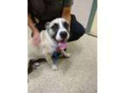 Adopt Sparkles a Boxer, Pit Bull Terrier