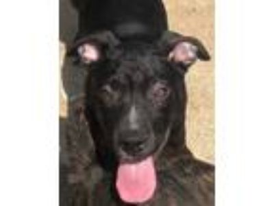 Adopt Reid a Black Labrador Retriever / Pit Bull Terrier / Mixed dog in York