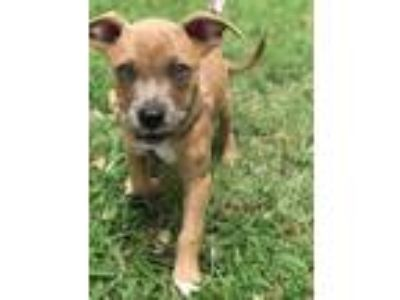 Adopt Huey a Tan/Yellow/Fawn - with Black Pit Bull Terrier / Mixed dog in
