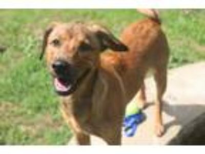 Adopt Alton a Labrador Retriever