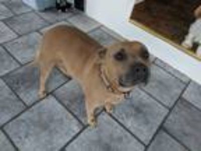 Adopt Posey a Red/Golden/Orange/Chestnut American Pit Bull Terrier / Mixed dog