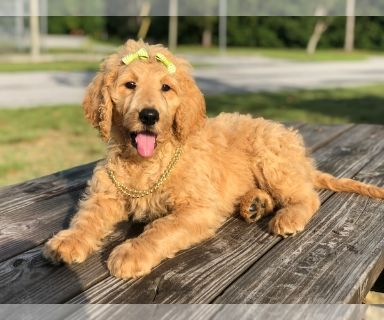 Goldendoodle PUPPY FOR SALE ADN-131219 - Betty F1b Standard Goldendoodle