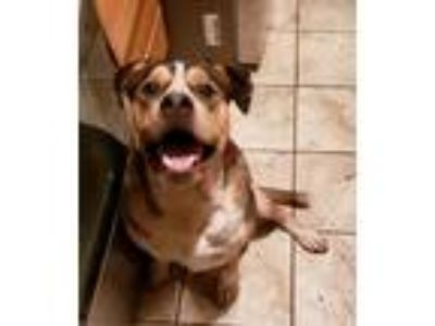 Adopt Zeus a Brown/Chocolate - with White Husky / American Pit Bull Terrier /