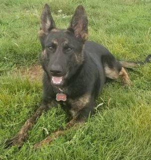 Dutch Shepherd Dog-German Shepherd Dog Mix PUPPY FOR SALE ADN-111759 - Brindle Shepherd