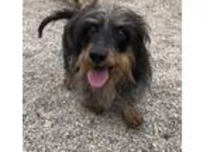 Adopt Chewy a Black - with Tan, Yellow or Fawn Dachshund / Mixed dog in