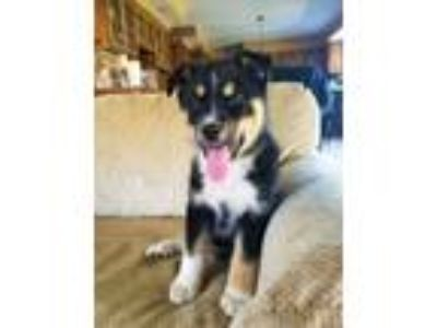 Adopt Whiskey a Husky, Mixed Breed