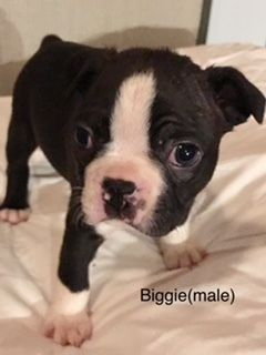 Boston Terrier PUPPY FOR SALE ADN-94300 - Boston Terrier Puppies  AKC