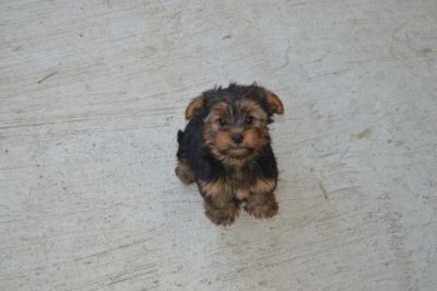 Yorkshire Terrier PUPPY FOR SALE ADN-104278 - Yorkshire Terriers For Sale