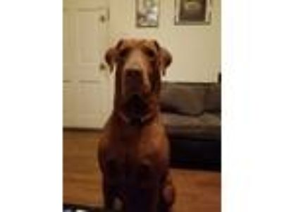 Adopt Moose a Brown/Chocolate Weimaraner dog in Tampa, FL (25332386)