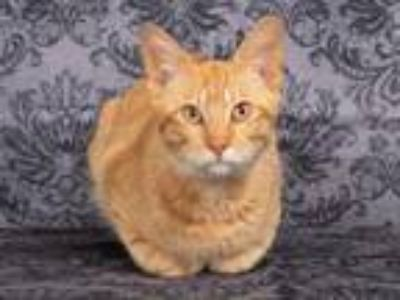 Adopt GOOSE a Domestic Short Hair