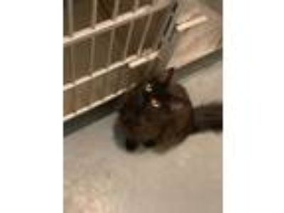 Adopt Gonzo a All Black Domestic Longhair / Domestic Shorthair / Mixed cat in