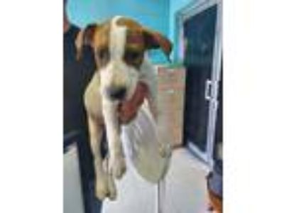 Adopt Jack a White American Pit Bull Terrier / Mixed dog in Moultrie