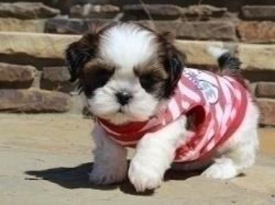 NICE Registered Shih Tzu Puppies Available