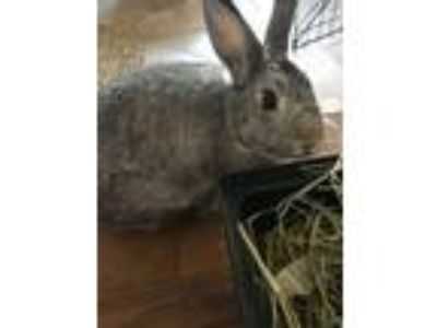Adopt Luna a Other/Unknown / Mixed rabbit in Boise, ID (23933698)