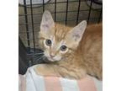 Adopt Earl a Domestic Shorthair / Mixed cat in Oceanside, CA (25580432)