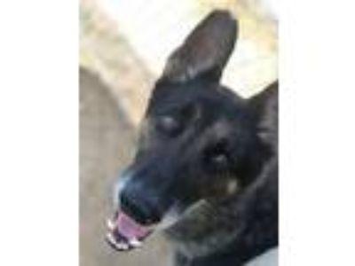 Adopt Dewey a Black - with Gray or Silver German Shepherd Dog / Mixed dog in