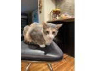 Adopt Ariel a Calico or Dilute Calico Calico (short coat) cat in Kennedale