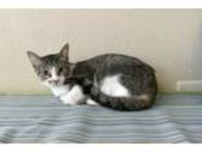 Adopt Coral a Domestic Short Hair
