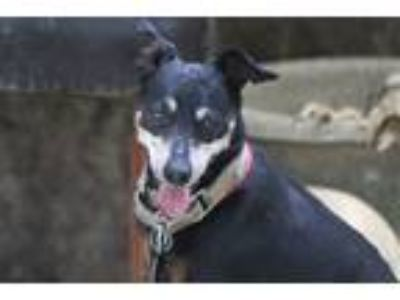 Adopt Humpfrey a Black - with Tan, Yellow or Fawn Miniature Pinscher / Mixed dog