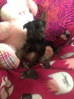 Shorkie Tzu-Yorkshire Terrier Mix PUPPY FOR SALE ADN-108710 - adorable shorkie girl she can now go home