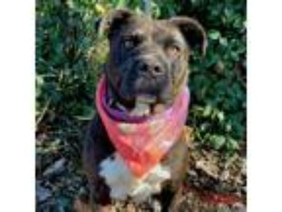 Adopt Calypso a Brown/Chocolate - with White Pit Bull Terrier / Mixed dog in