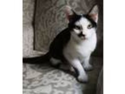 Adopt Vladimir Purrin a Domestic Short Hair