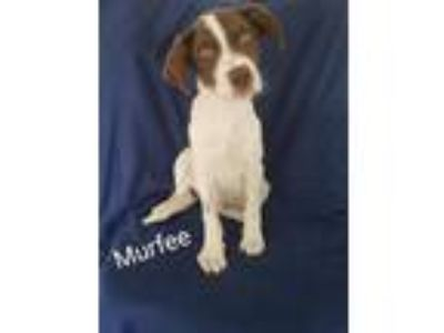 Adopt Murfee a White - with Brown or Chocolate Australian Shepherd / Border