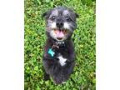 Adopt Fozzy a Black - with Gray or Silver Havanese / Mixed dog in Whitewater